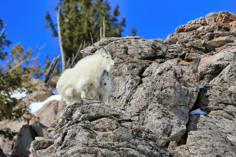 Mountain Goats | Robbie George Photography