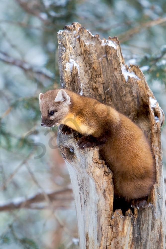 Pine Marten | Robbie George Photography