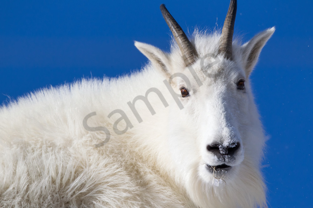 Goat | Robbie George Photography