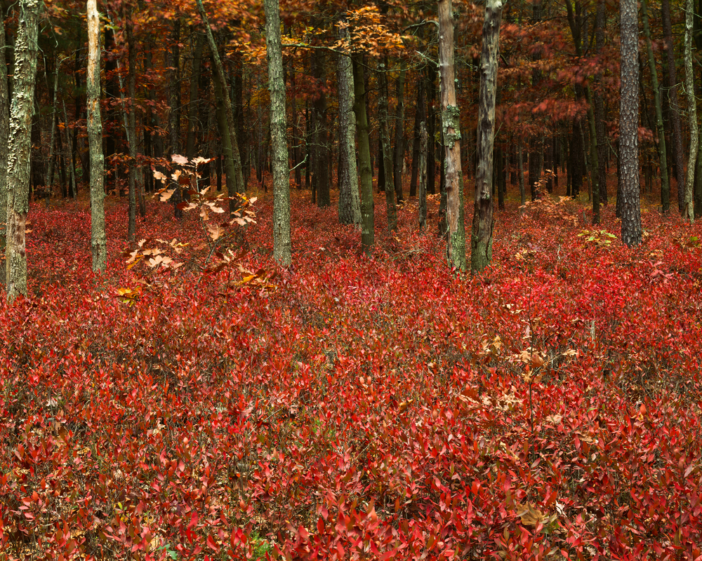 Fine Art Print | Inkberry Autumn Forest Undergrowth