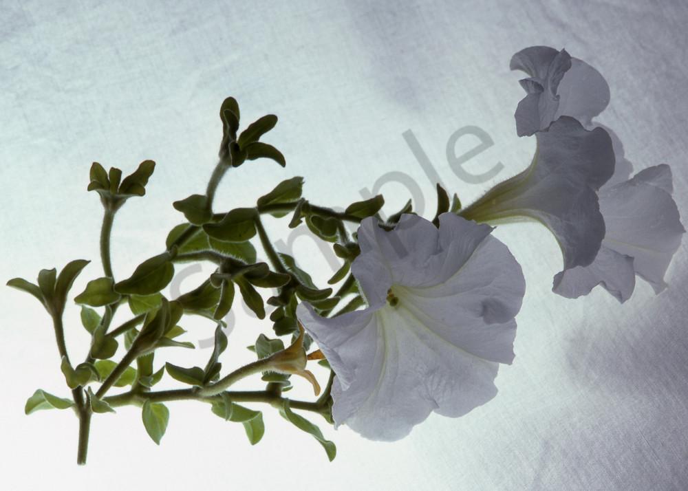 Fine Art Print | White Petunia on High Key Backdrop