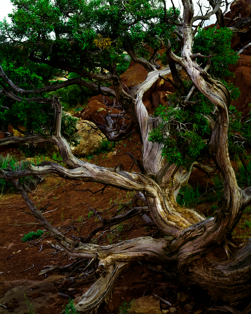 Fine Art Print | Ancient Utah Juniper Tree
