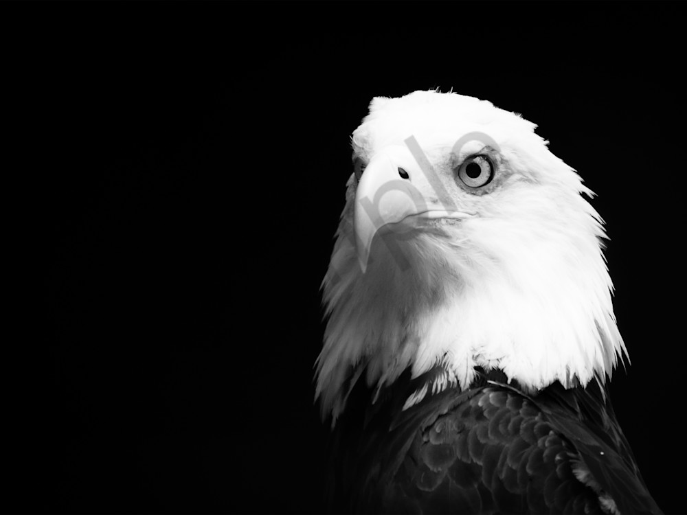 Eagle Bw 16x12 Art | No Blink Pictures, LLC