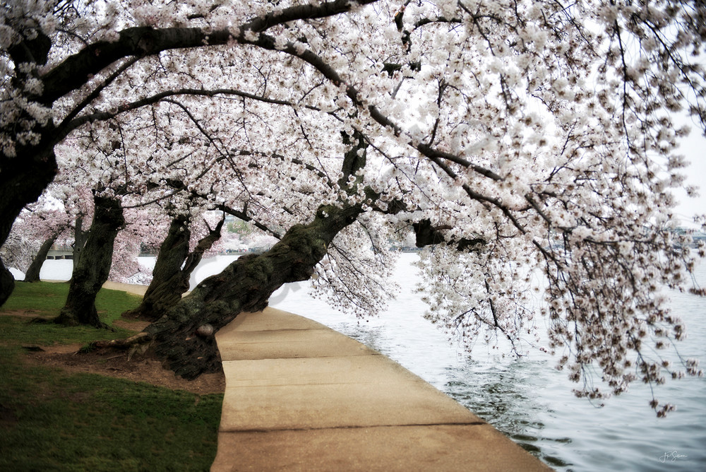 Cherry Blossoms - fine art photography prints - Mary Anne memory print