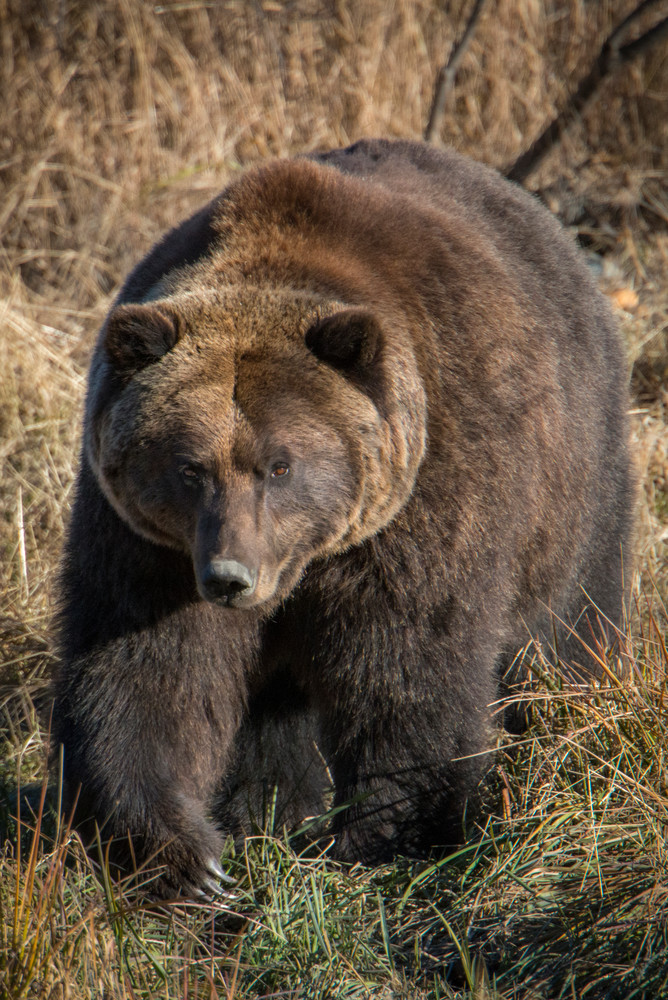 A huge brown bear from Alaska - fine art photography prints