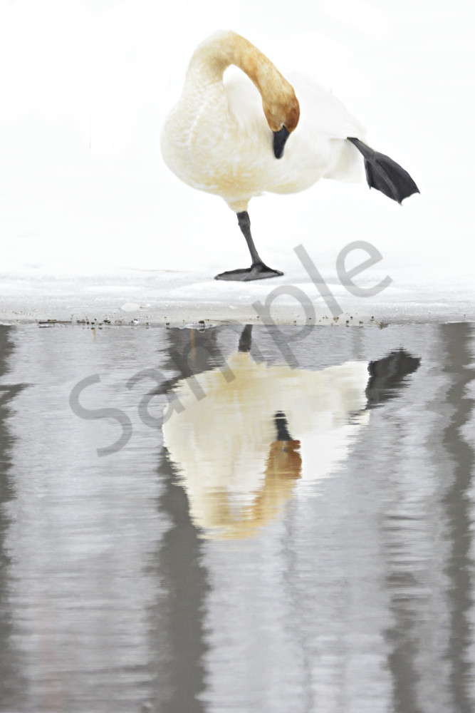 Yoga For Swans Photography Art   LHR Images