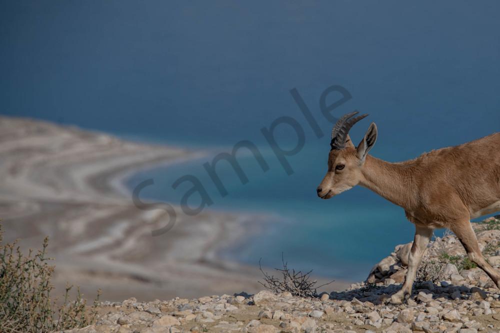 Dead Sea Nubian Ibex