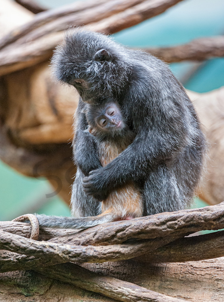 Photography By Festine Langurs mother and baby
