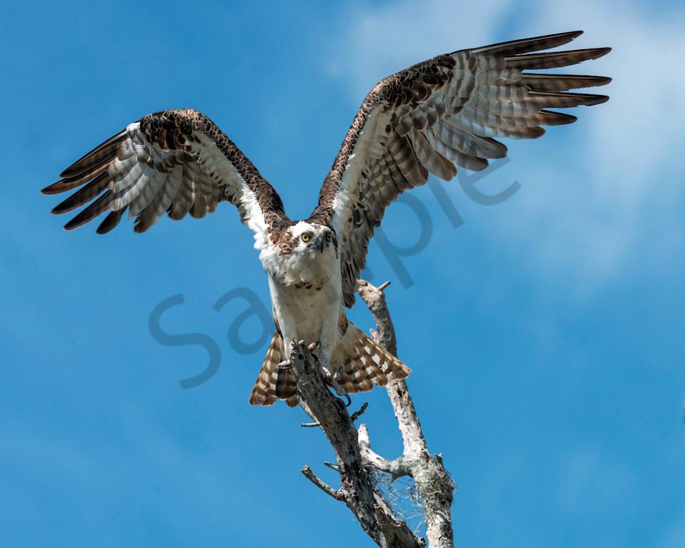 Photography By Festine Osprey getting ready to take flight