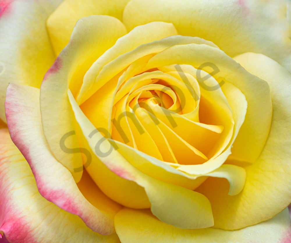 Photography By Festine soft yellow rose