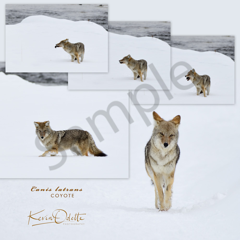 Coyote Hunting - On the Prowl - Wyoming Wildlife Photographs - Yellowstone National Park - Fine Art Prints on Metal, Canvas, Paper & More By Kevin Odette Photography