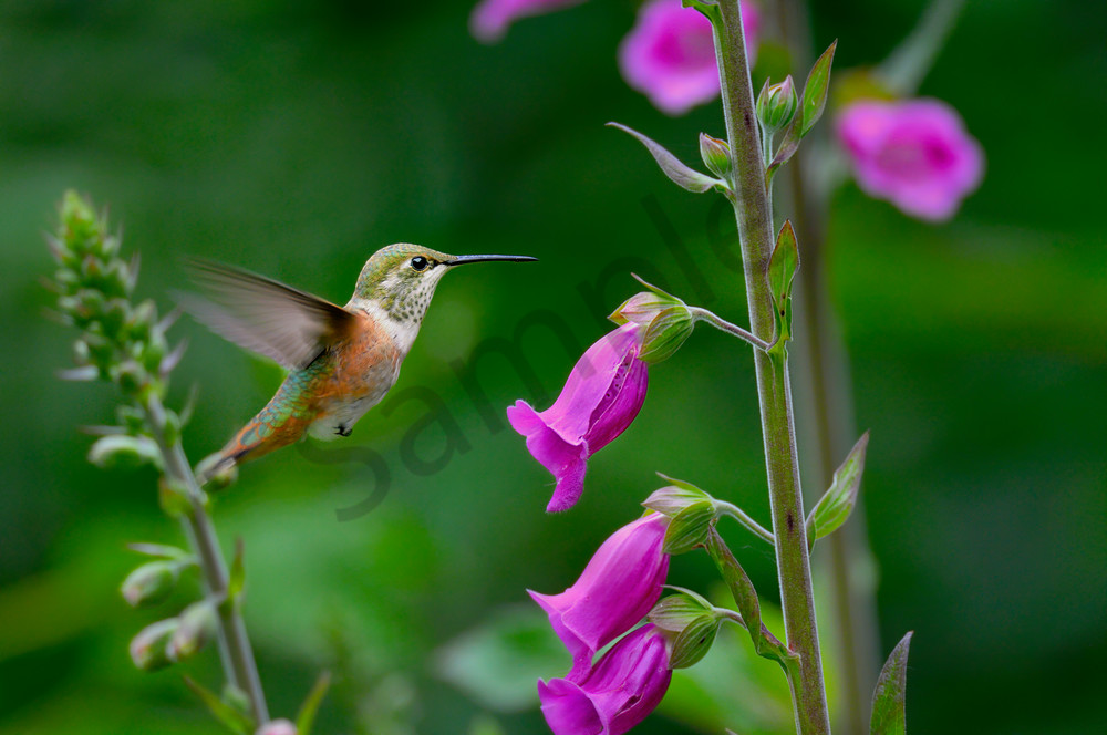 Immature or female Rufous Hummingbird (Selasphorus rufus) feeding on foxglove flowers, Pacific Northwest.  June.  This is the real thing not some setup.  This photo was taken in Olympic National Forest where foxglove is very common in logged over ar