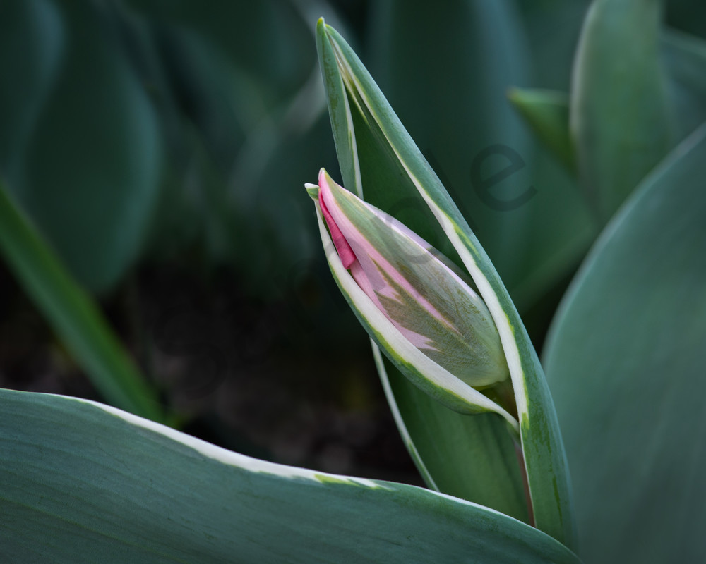 Photographs of Spring Tulips