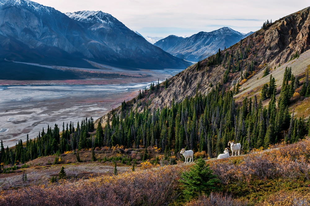 Dall sheep rams overlooking Ä'äy Chù (Slim's River) Valley
