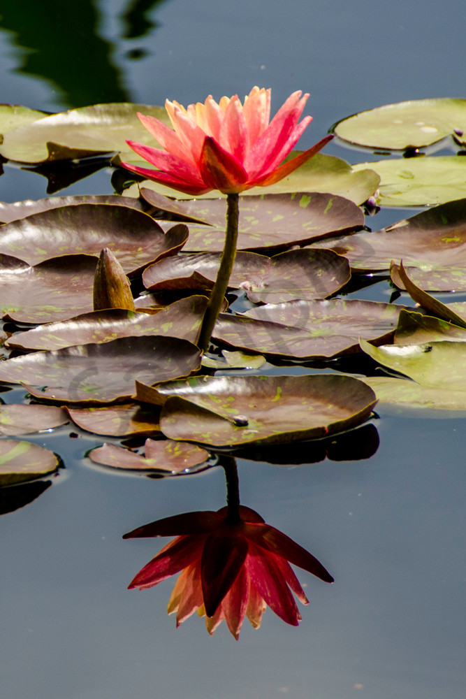 Reflecting Lily
