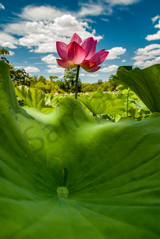 Lotus flower bugs view