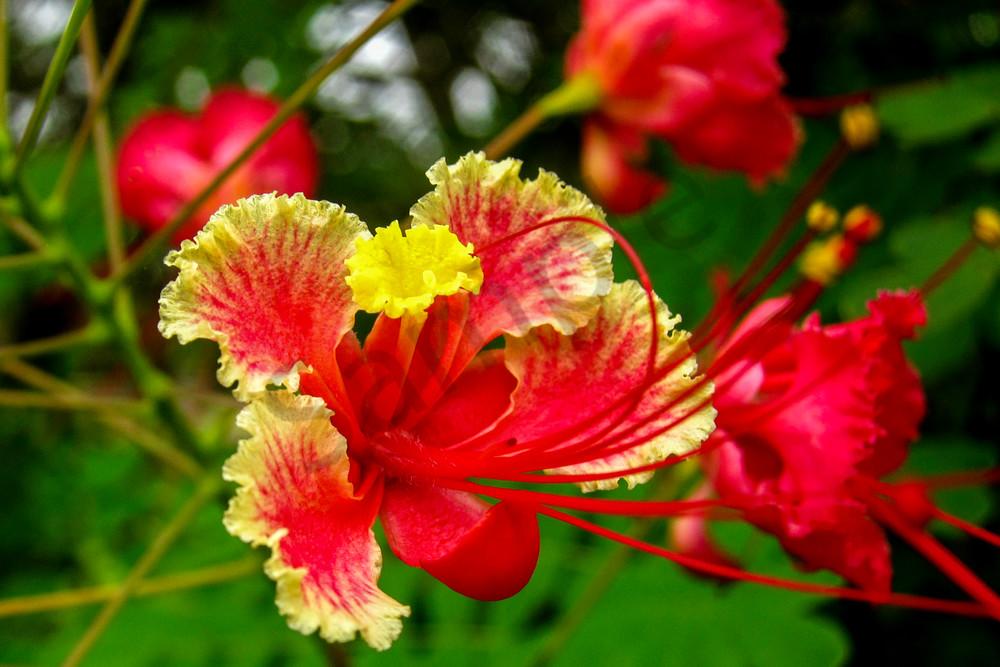 Sri lanka flower