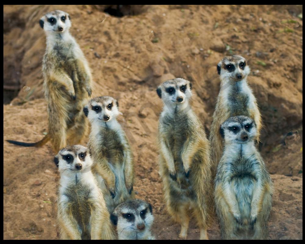 Meercats Photography Art | It's Your World - Enjoy!