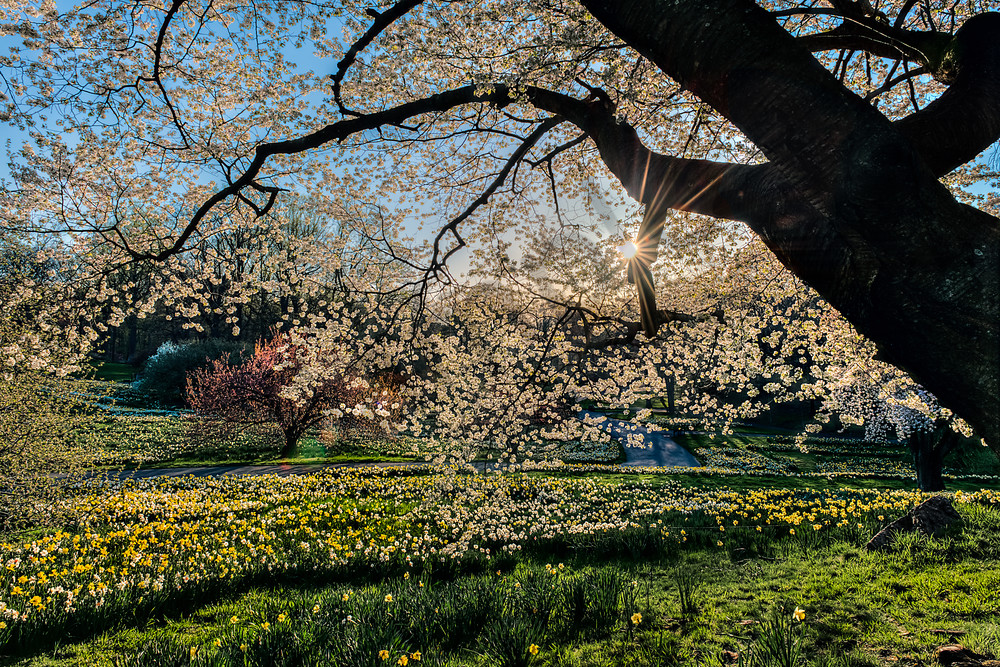 Cherry blossoms and daffodils at sunrise
