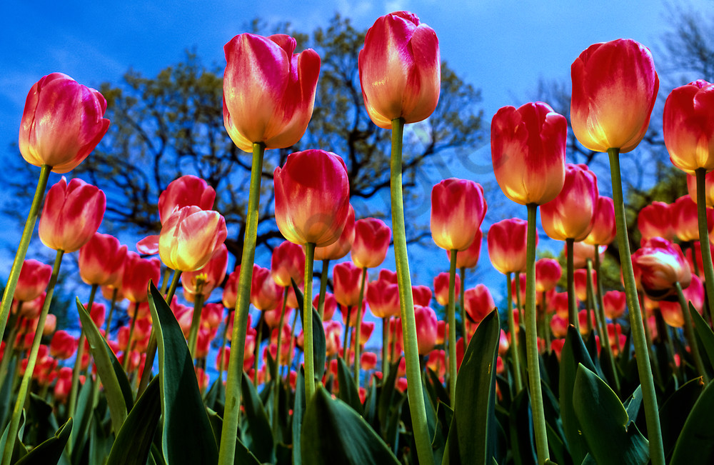 Low-angle view of red/yellow tulips