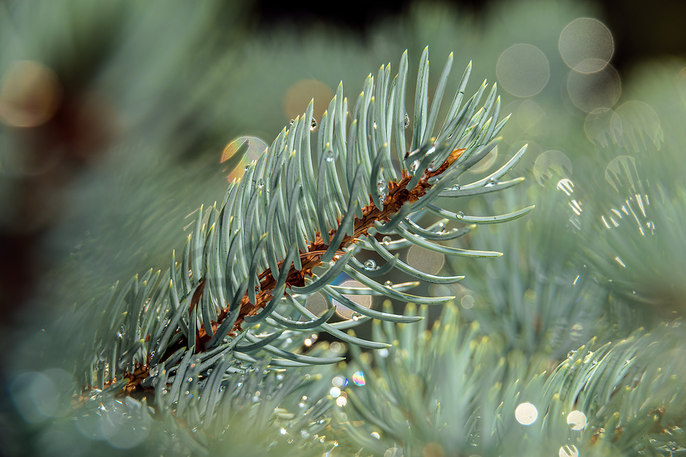 Small pine needle branch