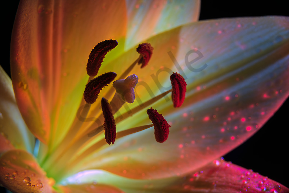Daylily lit by colored lights