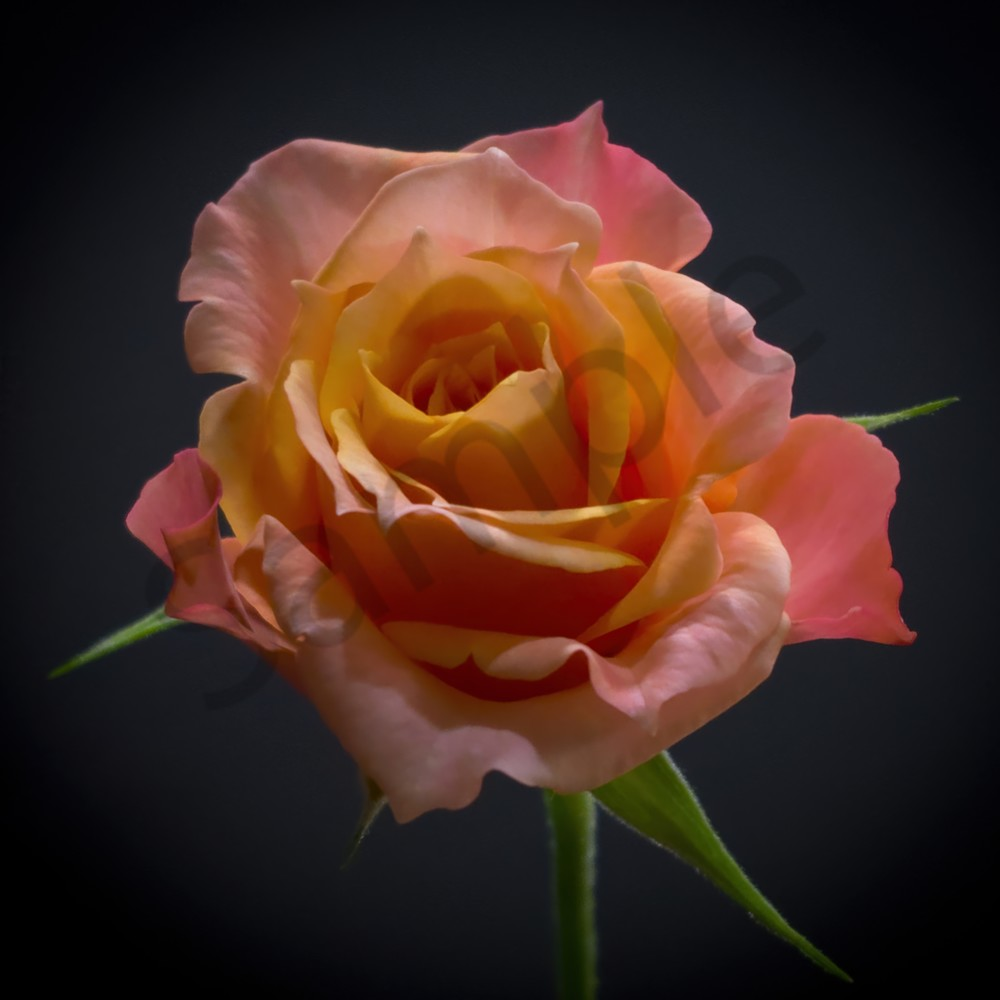 Miniature Rose Photography Art | FocusPro Services, Inc.