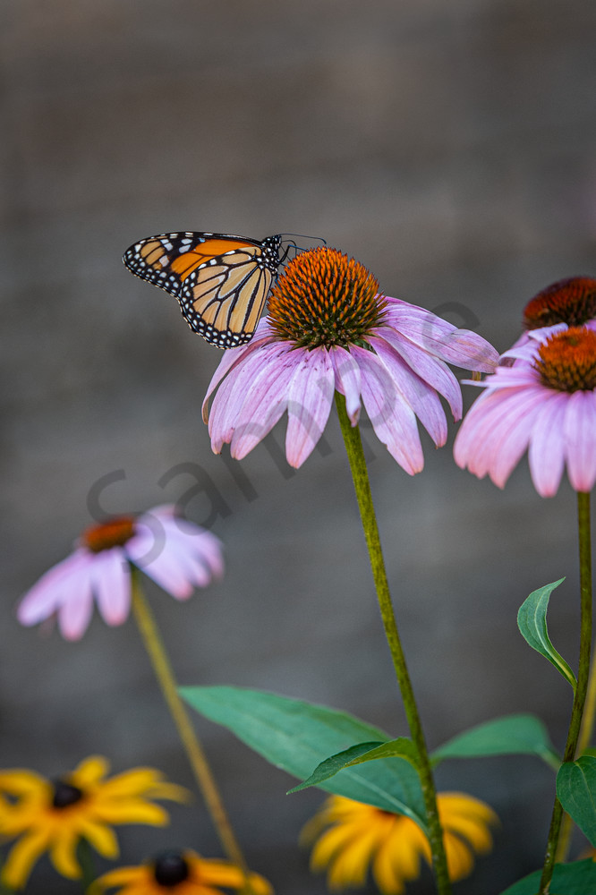 Monarch Feeding Photography Art | Kim Bova Photography