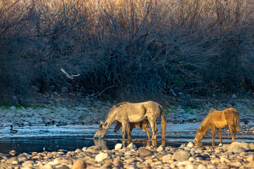 Wild Horses and Shore Birds at the Salt River