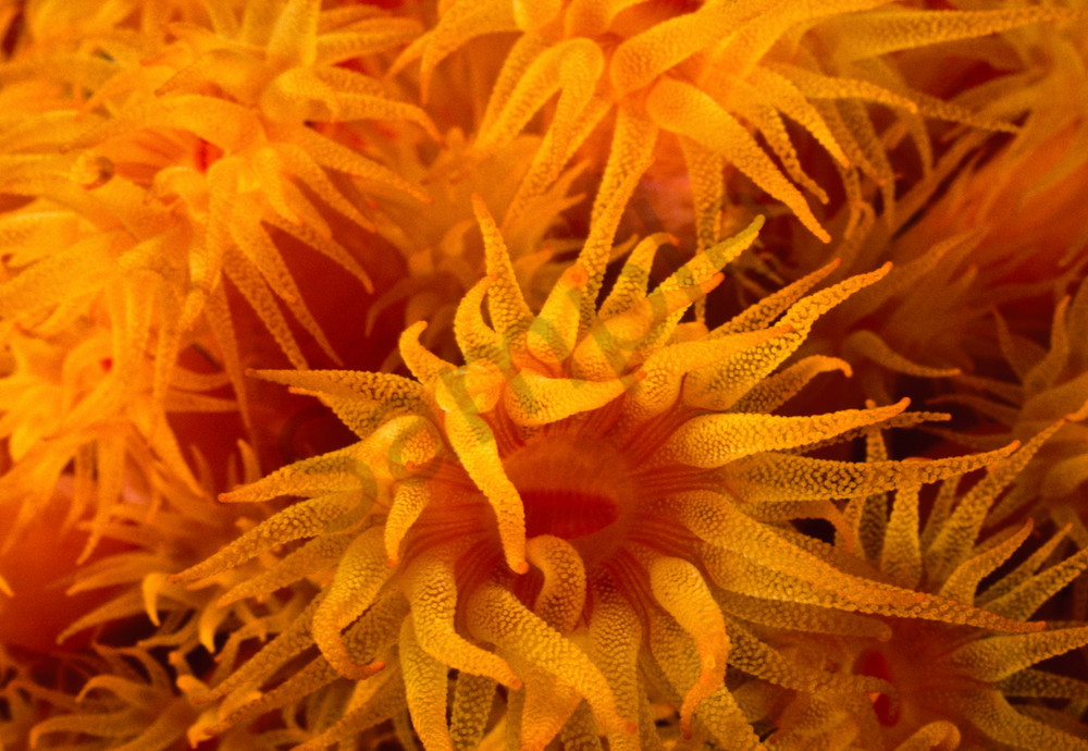 Coral Polyps of Orange Tube Coral (Tubastrea coccinea).  These polyps are only visible in the dark, usually at night. Bonaire
