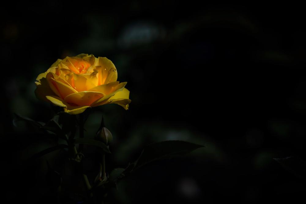 Yellow rose schenectady rose garden