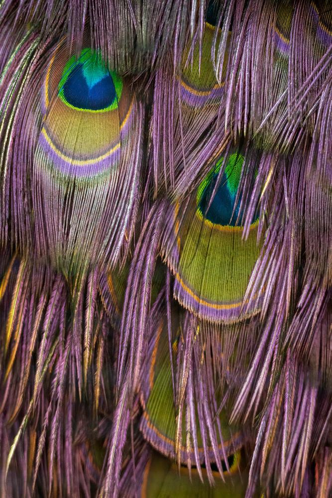 Feather Fringe Photograph