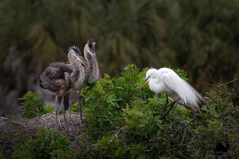 1740 Two Great Blue Babies And Egret  Art   Cunningham Gallery