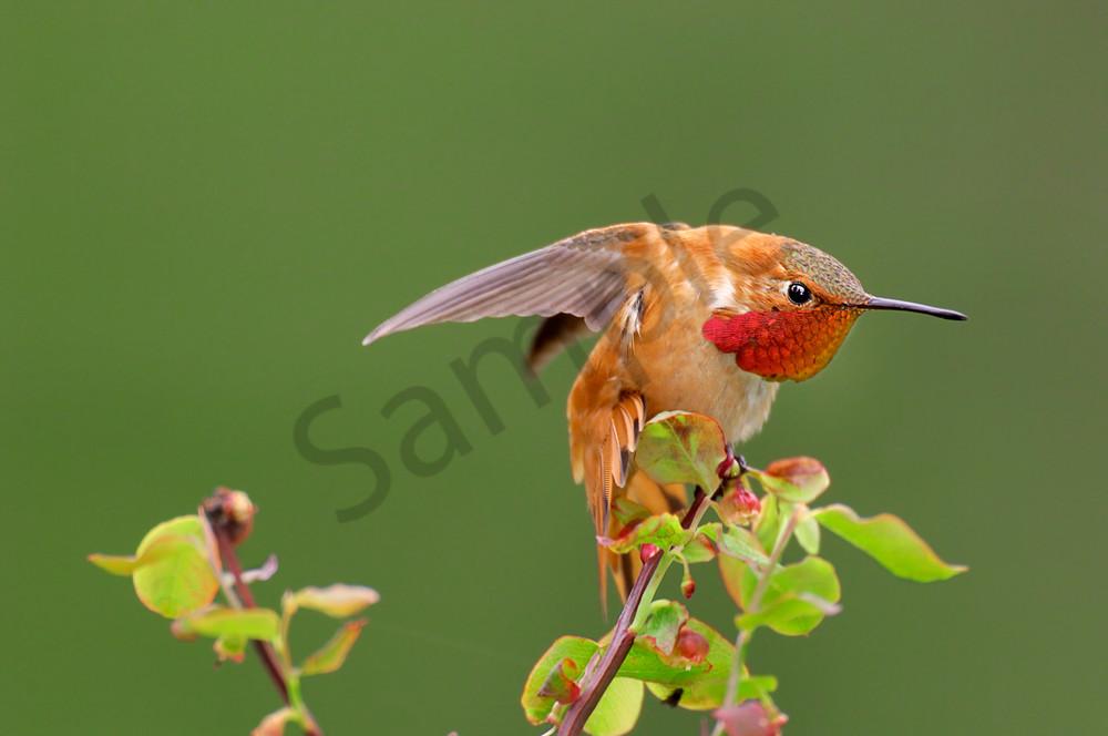 Male Rufous Hummingbird stretching.