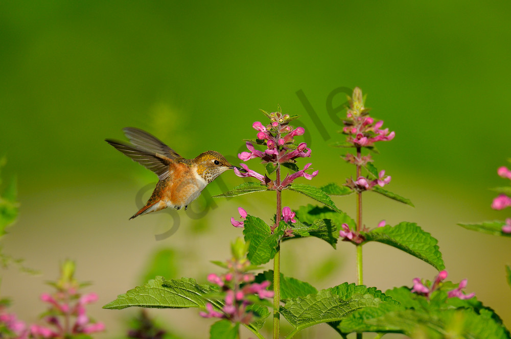 Rufous Hummingbird feeding on nettle blossoms