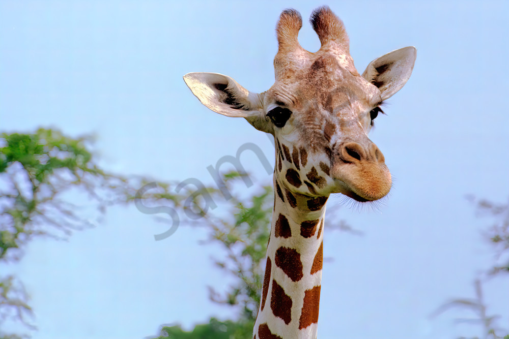 Giraffe Up Close Photography Art   RAndrews Photos