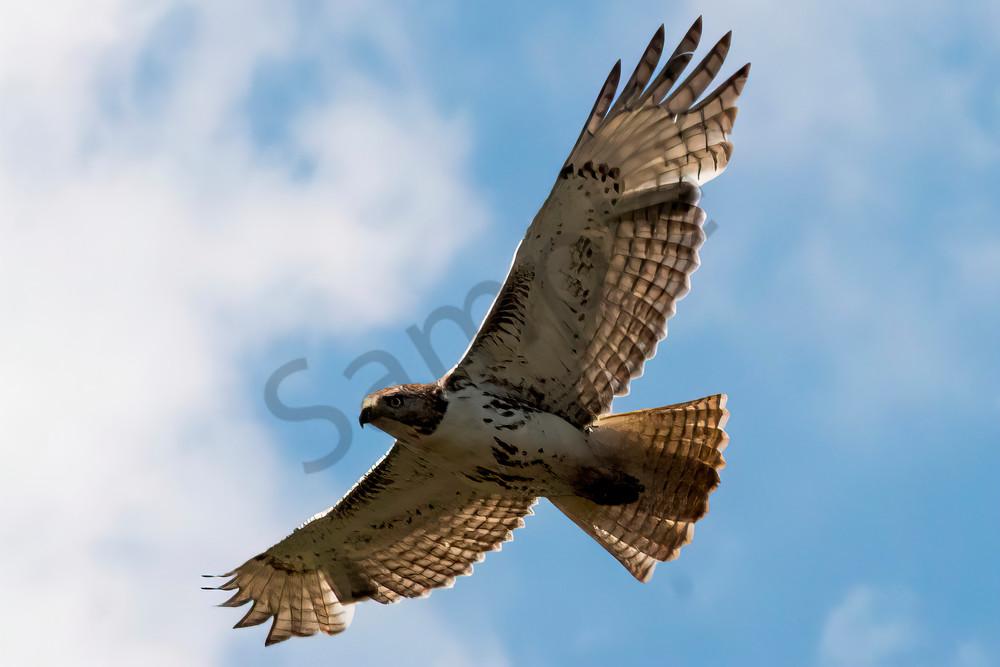 Red Tailed Hawk Photography Art   RAndrews Photos