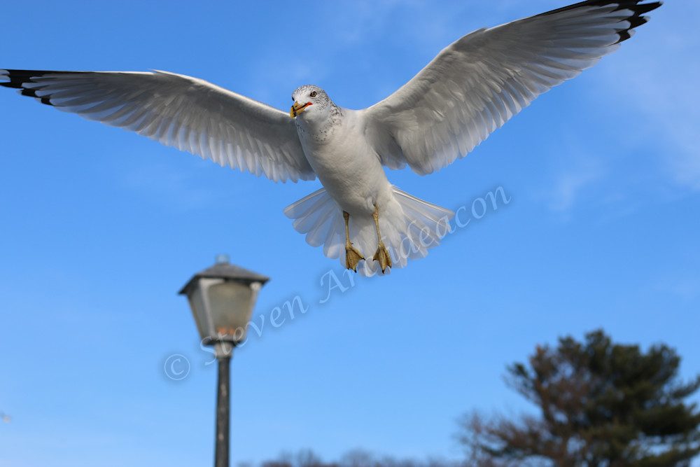 Seagull Open Wings in mid-air by Steven Archdeacon.