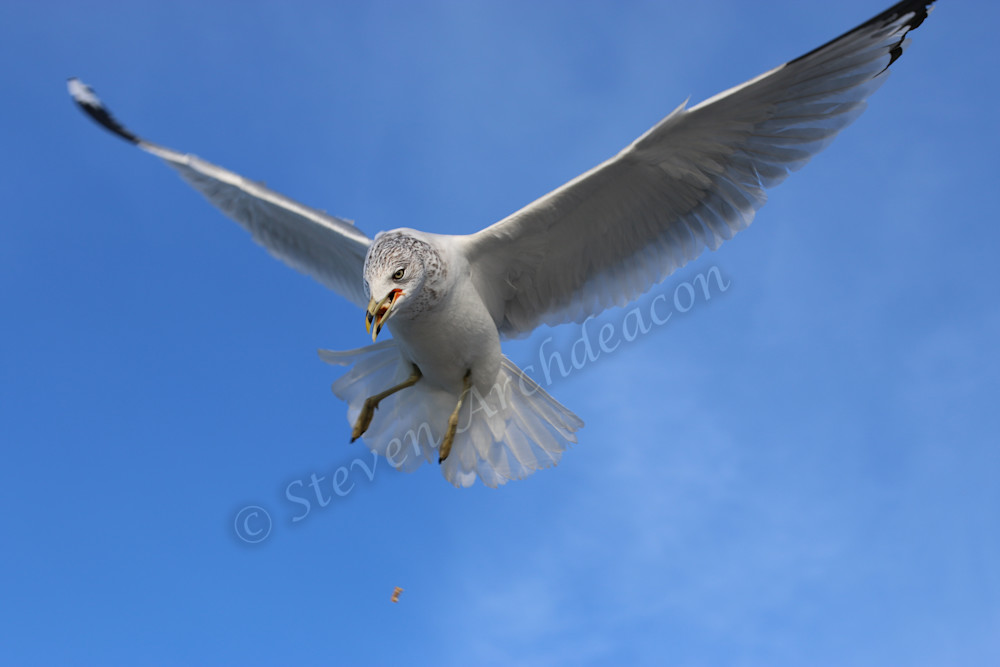 Seagull eating bread in mid-air by Steven Archdeacon.
