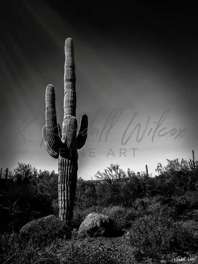 Lone Saguaro Art   K. Randall Wilcox Fine Art