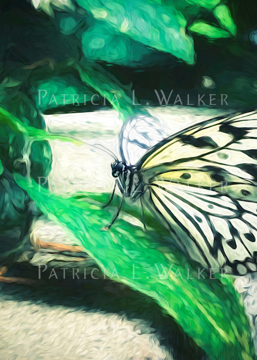 Lace Wing Butterfly