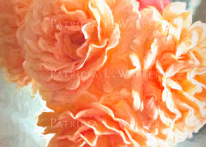 Roses in Apricot