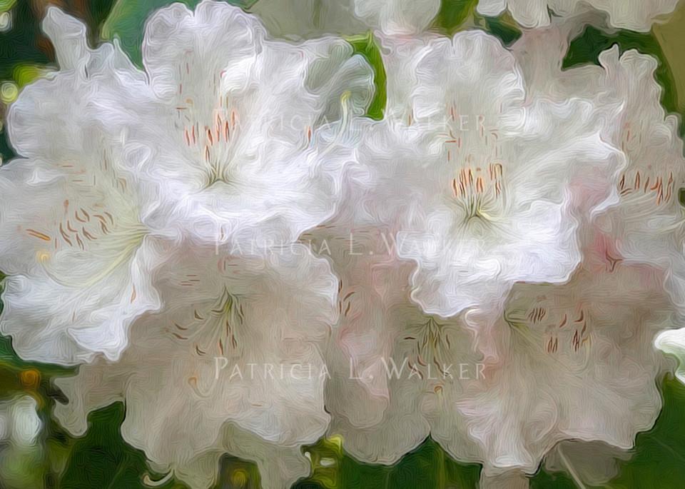 White Rhodies