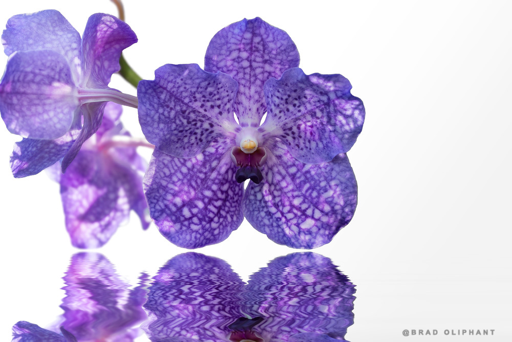 Vanda orchids, flowers on water, reflections studio, purple vanda orchids, macro photography, art photographs,