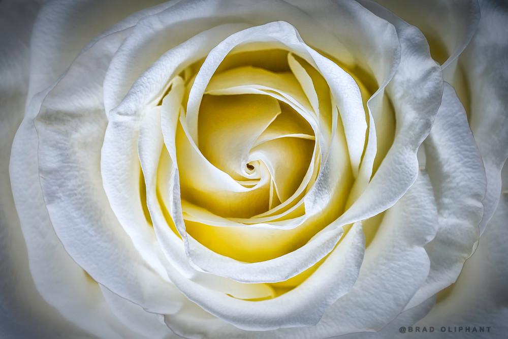 rose, flower, macro, petals, blossom, close, petals, blossom,