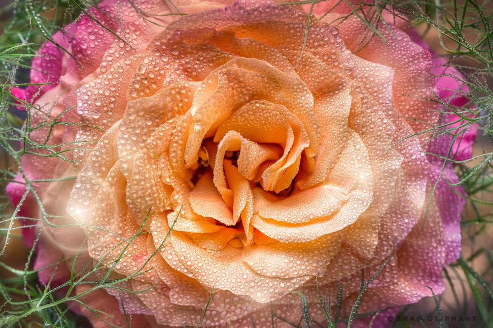 variegated, rose, flower, dew, water, macro, petals, lights, grass,
