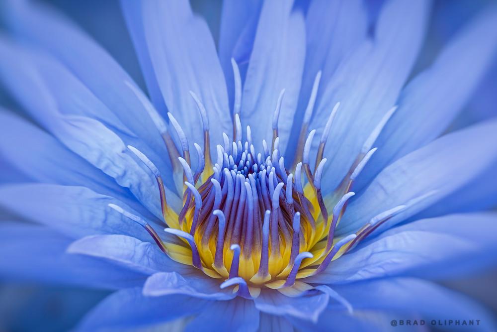 Lotus, flower, purple, macro, close, blossom, floral,