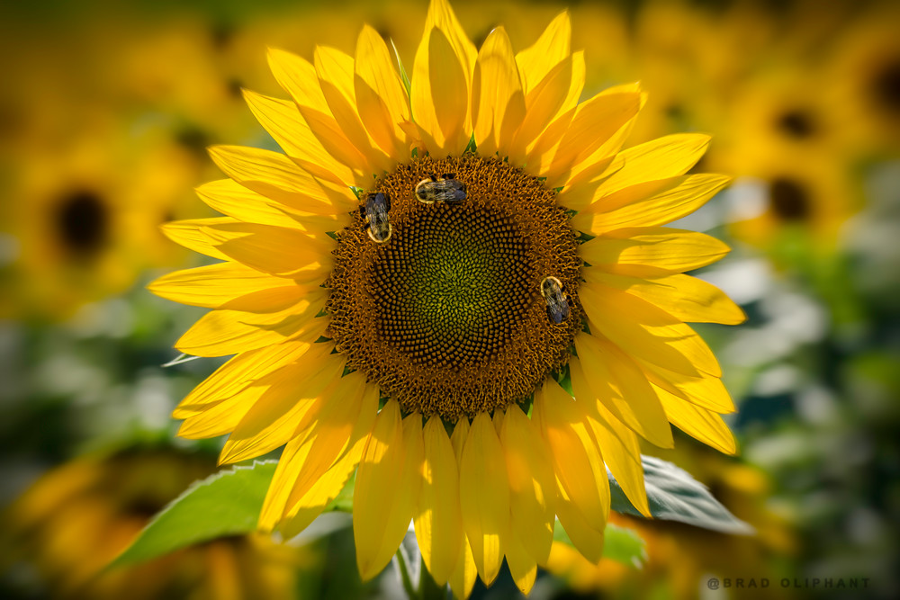 bees, insects, field, sunflowers, flowers, pollen, macro,