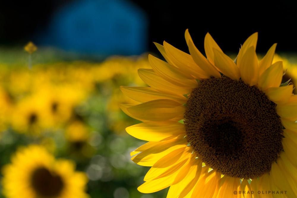 field, house, sign, post, macro, yellow, brown, sun flowers