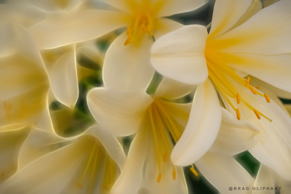 yellow easter lily flowers